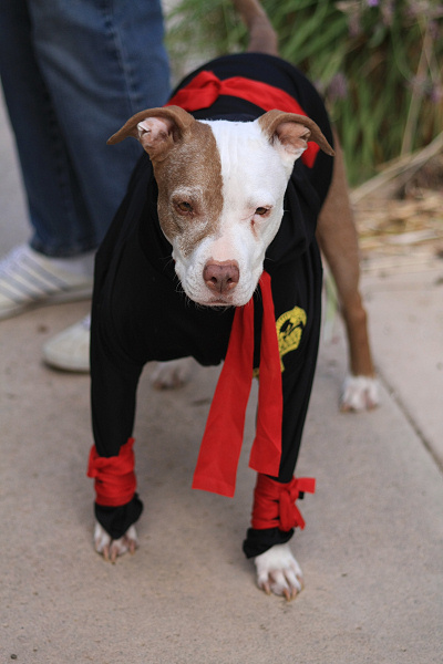 Ninja pit bull