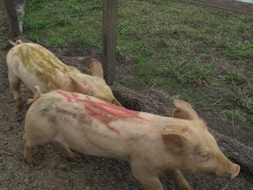 Pig racing!
