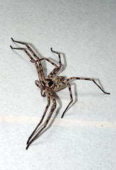Big brown huntsman spider (Heteropoda venatoria) (Arne Kuilman) Tags: morning window japan spider big arachnid cottage izu shoji ricepaper onpaper heteropodavenatoria huntsmanspider sparassidae brownhuntsmanspider insecteater  shojipaper