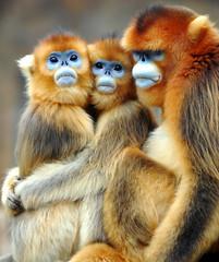 Golden monkey (floridapfe) Tags: animal zoo monkey golden nikon korea everland 에버랜드 goldenmonkey d80 magicunicornverybest