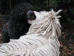 I'll take that (Foxxy & Baldr) Tags: cords nh londonderry standardpoodle baldr foxxycleopatra