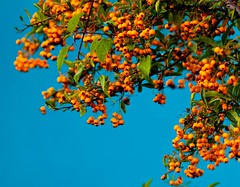 Berries against a blue wall (Steve-h) Tags: blue ireland dublin orange green leaves wall canon berries artisticphotography steveh canoneos500d photographersgonewild saariysqualitypicturesgallery canonf28100mmusmmacro