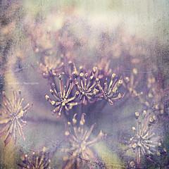 Affi (Faisal!) Tags: flowers light flower green texture dedication vintage friend purple affi faisal 500x500 fleursetpaysages