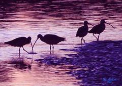 sunset birds (artfilmusic) Tags: water birds curlew longbilled