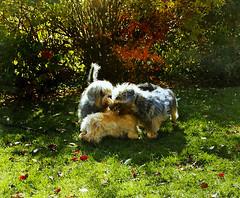 """Eddi,Lizzy und Rico (""""luna caprese"""") Tags: family dog pet cute animal animals puppy tiere puppies terrier hund haustier hunde tier haustiere welpe welpen dandie dinmont"""