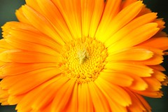 Flower - Amsterdam (IvoMathieuGaston) Tags: orange white flower color colour macro colors amsterdam yellow grey petals nikon colours d70s pollen naturegroup catchycolorsgroup flowersgroup fabulousflowersgroup flowerloversgroup eperkegroup wonderfulworldofflowers flickrstarsgroup highqualityimagesgroup freenaturegroup amazingmacrosgroup theflowerbasketgroup naturegreenstargroup nikonflickrawardgroup wonderfulworldofflowersgroup loverofnaturegroup fotografienederlandgroup artofimagesgroup colorsoftheworldgroup colourartawardsgroup themagicofcolorgroup floralfantasiagroup fotosconestilogroup elaromadelasfloresgroup dream2009group exquisiteworldofnaturegroup planetearthflowersgroup lovetheworldofnaturegroup worldofflowersgroup flickrunitedgroup macrosdenaturalezagroup beautifulshotgroup mallmixstarawardgroup flowerwatchinggroup animalflowerscloseupsgroup auniverseofflowersgroup florebotaniquegroup macroworldgroup dutchnaturegroup elshowdelmacrogroup universeofnaturegroup naturaevitagroup