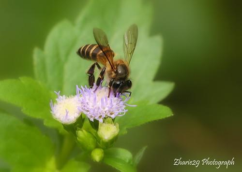 asian honey bee Apis cerana