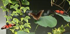 Five Butterflies - Detail (vbd) Tags: butterfly ma pentax butterflies magicwingsbutterflyconservatory southdeerfieldma k200d ctflickrmeetup