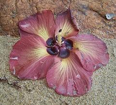 Hibiscus tiliaceus (Beach Hibiscus) (Oriolus84) Tags: flower beach hibiscus malvaceae hibiscustiliaceus vogonpoetry