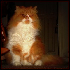 "Toby ""Three Paws"" (iwork4toby) Tags: red pet cat persian midwest popeye persiancat redpersian luv2explore"