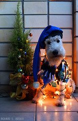 Feliz Natal Tricolor / Merry Christmas (Richard E. Ducker) Tags: christmas natal de wire terrier fox tricolor wired feliz 2009 duro pelo arame grmio ruffus gremio