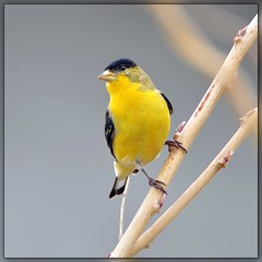 Lesser Goldfinch (Images by John 'K') Tags: birds garden goldfinch explore finch johnk lessergoldfinch explored d5000 distinguishedbirds johnkrzesinski physis randomok