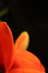 amaryllis (apollon65) Tags: flower macro nature closeup amaryllis bloom onblack naturesfinest bej mywinners goldstaraward excellentsflowers adrinnesmagicalmoments