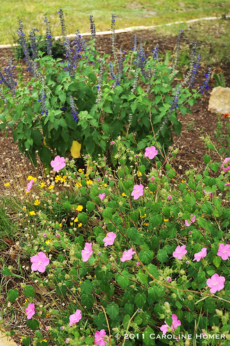 'Indigo Spires' salvia, four-nerve daisy, rock rose