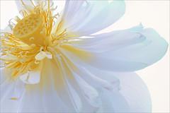 Lotus Flower - IMG_4873-b-1000 (Bahman Farzad) Tags: flower macro yoga peace lotus relaxing peaceful meditation therapy lotusflower lotuspetal lotuspetals lotusflowerpetals lotusflowerpetal