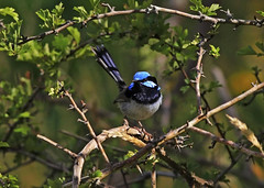 Superb Fairy-wren: Amongst twigs (Clement Tang ** Busy **) Tags: morning summer male bird nature wildlife australia victoria avian birdwatcher superbfairywren maluruscyaneus closetonature specanimal concordians candlebarkpark