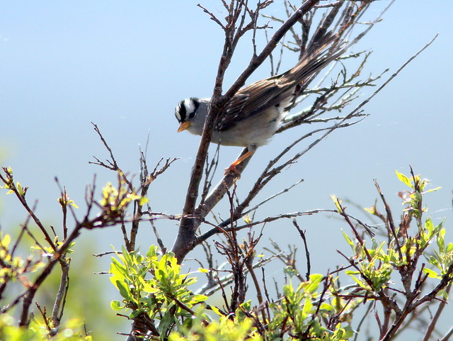 White-crowned Sparrow 20110619