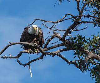 Bald Eagle Poop Shot!