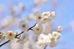 plum blossoms (snowshoe hare*) Tags: dsc0287 flowers plumblossoms japaneseapricot kitanotenmangushrine kyoto 北野天満宮 梅 白梅 京都