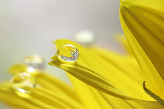 That one (alideniese) Tags: macro closeup flower petal water waterdrop droplet bokeh colour yellow sunflower magnification focus gotas