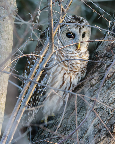 Barred Owl - 9031
