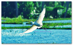 fly (memet metz) Tags: birds animal animals fly 70300mm tanahlot sawah burung canggu terbang pentaxk10d kokoan vosplusbellesphotos metzphotography metzphotocreative burungterbang