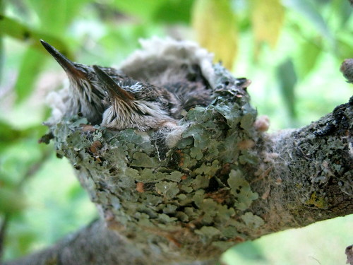 Attleson Farm: Baby Hummingbirds