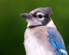 Blue jay chick - B