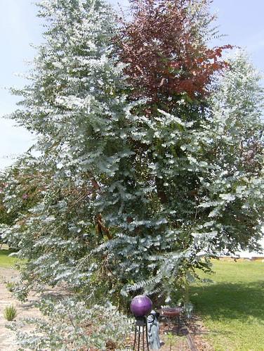 eucalyptis tree