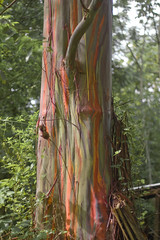 Rainbow Eucalyptus Tree (GiggleManiac) Tags: tree costarica university eucalyptus rainbowtree