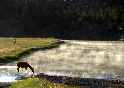 Elk feeding at dawn
