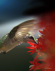 Gossamer Wings (William  Dalton) Tags: red hummingbird hummingbirds redflower rubythroatedhummingbird cardinalflower archilochuscolubris feathryfriday specanimal explore27 femalerubythroatedhummingbird anawesomeshot lightstylus hummingbirdflying