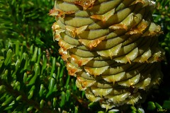 Korean Spruce Cone (photo fiddler) Tags: gardens novascotia cone august spruce historicgardens sprucecone nottobeusedwithoutmypermission grasshoppersession annapolistoyal