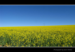Fields of Gold - Explored (J Weeks) Tags: flowers flower field canon landscape southafrica gold perfect day farm farming bluesky powershot crop crops powerline canola swellendam canolafields sx10