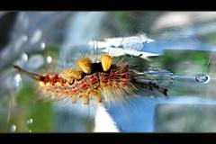 ___|||_|_ (ruhey) Tags: hairy naturaleza macro nature canon hair caterpillar gusano bicho pelos oruga macrofotografia ixus80