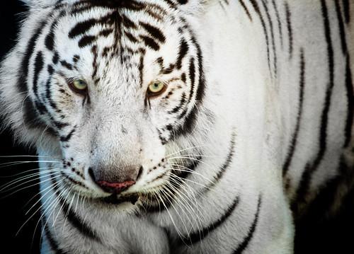 Fotografiando un tigre blanco class=