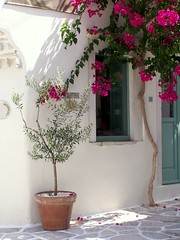 Naxos Island - Greece - 2009 (CarlosCoutinho) Tags: travel summer tree island greek mediterranean aegean olive hellas greece cyclades naxos bouganvillia halki kyklades