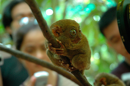 tarsier-philippines-08 by you.