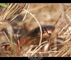 Red-bellied Black Snake (accesser) Tags: snake australia brisbane queensland blacksnake pseudechisporphyriacus redbelliedblacksnake wildsnakenoncaptive