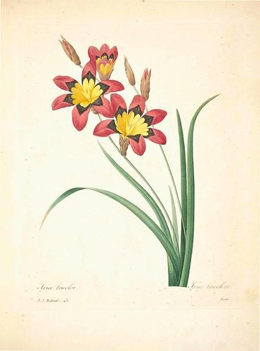 Ixia tricolore