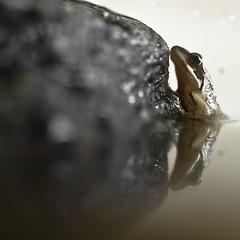 Presenting Frae (Lumase) Tags: pet animal square amphibian frog naturesfinest lumase frae