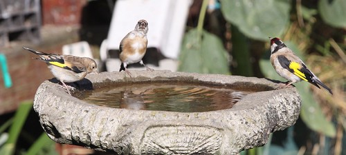 Goldfinches at the Bird Bath