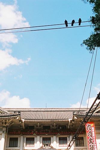 kabukiza*pigeons