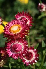 Buds still shut (quinn.anya) Tags: pink yellow buds floweres denverbotanicgardens