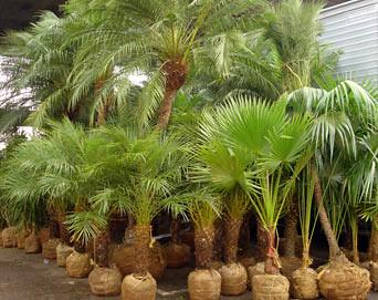 plantas palmeiras