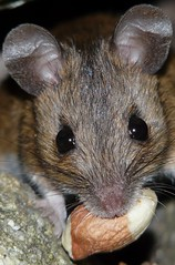 A real mouthful (cropped) (Clare L H) Tags: wild macro nature animal mouse mammal scotland wildlife woodmouse naturesfinest golddragon