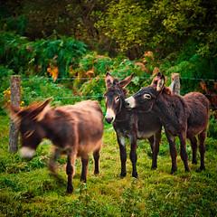 Sometimes, Three's A Crowd (Allard Schager) Tags: france nature animals nikon donkeys explore frankrijk 130 normandy 2009 etretat 1755mmf28 ezeltjeprik threeisacrowd nikkor1755 d80 nikkor1755mmf28 nikond80 ezeltjes allardone allard1 2foolsinlove allardschagercom