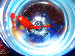 simple (ehsan_00) Tags: blue red white fish glass mahi         sx110