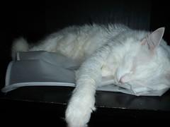 (rOdrOga) Tags: pet cat gato gatobranco wightcat