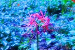 spider lily-Flower in heavens- (NLK-gallery) Tags: spider heavens lilyflower